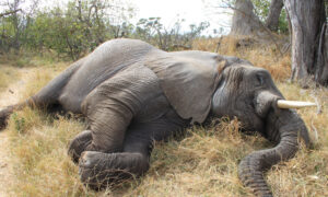11 Elephants Mysteriously Die in Zimbabwe Forest, Parks Authorities Are Investigating