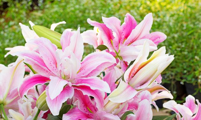 Pink lilies. (Benjamas154/Shutterstock)