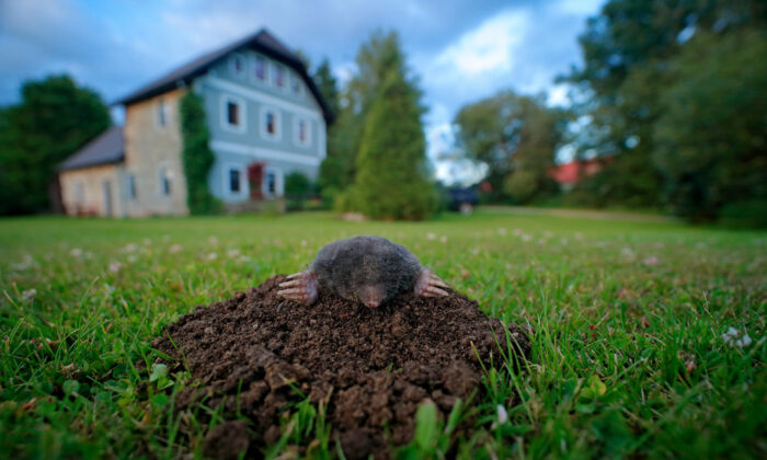Moles will move around to find new sources of food. (Ondrej Prosicky/Shutterstock)