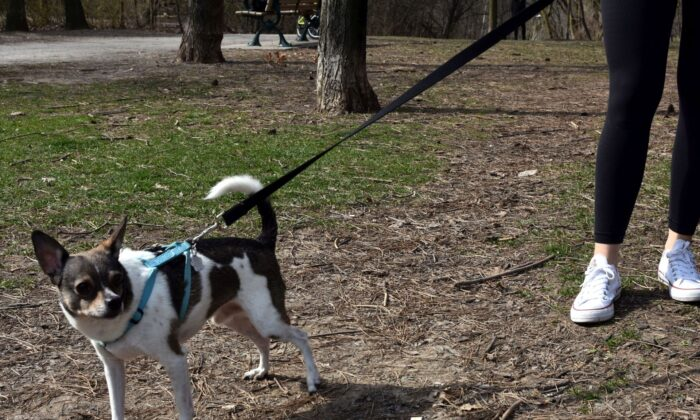 A dog is taken for a walk in Toronto in this recent photo. The Better Business Bureau says puppy scams are growing as fraudsters look to take advantage of lonely pet lovers during the pandemic. (The Canadian Press/Melissa Couto)