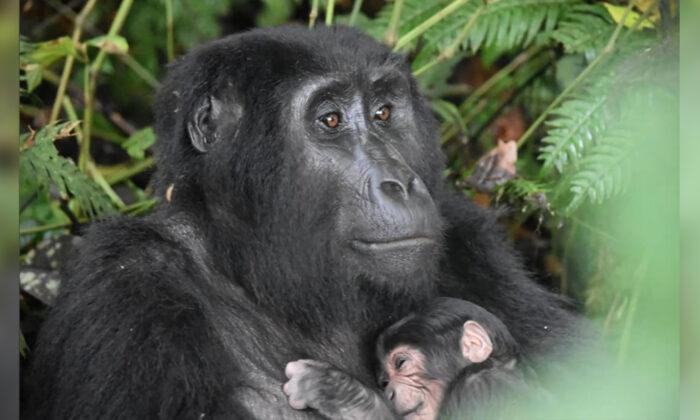 (Courtesy of Uganda Wildlife Authority)