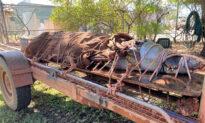 Massive 14-Foot Crocodile Captured at Tourist Spot in Australia's Northern Territory