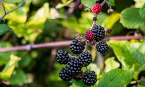 Summer's Last Adventure: Blackberry Picking