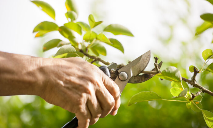Disease organisms can stick to pruner blades, which then move them from an infected plant to an uninfected one. (Alexander Raths/Shutterstock)