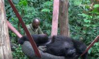 Playful Young Gorillas