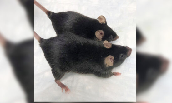 'Mighty Mice' Stay Musclebound in Space, Boon for Astronauts