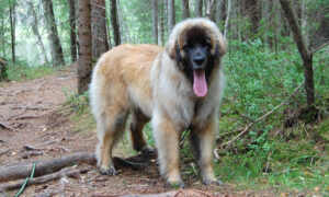 One-Year-Old Pup That Weighs 110 lb Is Mistaken for a Bear on Her Walks in the Forests