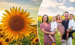 Wisconsin Farmer Has Planted Over 2 Million Sunflowers to Provide a Respite Amid Pandemic