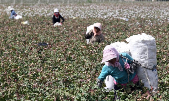 This photo taken on September 20, 2015 shows Chinese farmers picking cotton in the fields during the harvest season in Hami, in northwest China's Xinjiang region. (STR/AFP via Getty Images)