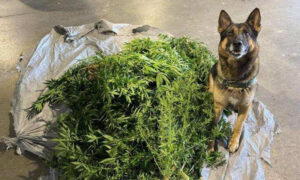 Maine Border Patrol K9 Sniffs Out 40 Pounds of Marijuana From Illegal Grow Op