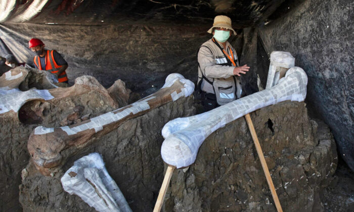 Ruben Manzanilla Lopez of the National Anthropology Institute, who is responsible for the preservation work in the area, shows the skeleton of a mammoth that was discovered in the construction site of Mexico City's new airport in the Santa Lucia military base, Mexico, Thursday, Sept. 3, 2020. (Marco Ugarte/AP Photo)