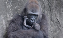 A Critically Endangered Baby Gorilla Died Six Days After Being Born at Audubon Zoo