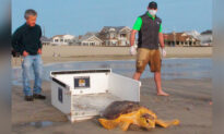 Once Near Death, Rescued Sea Turtles Are Released Back to the Ocean