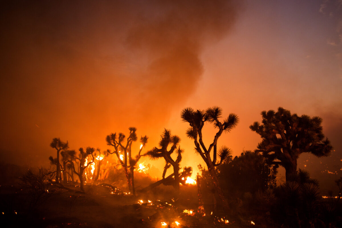 Joshua trees are consumed by the Bobcat Fire in Juniper Hills, Calif.