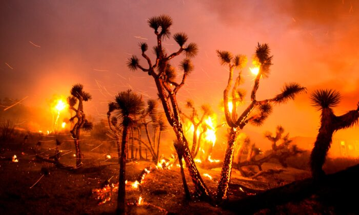 The wind whips embers from the Joshua trees burned by the Bobcat Fire in Juniper Hills, Calif., on Sept. 18, 2020. (Ringo H.W. Chiu/AP Photo)