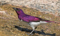 The Spectacular African 'Amethyst' Starling Looks Like a Living Gemstone With Wings