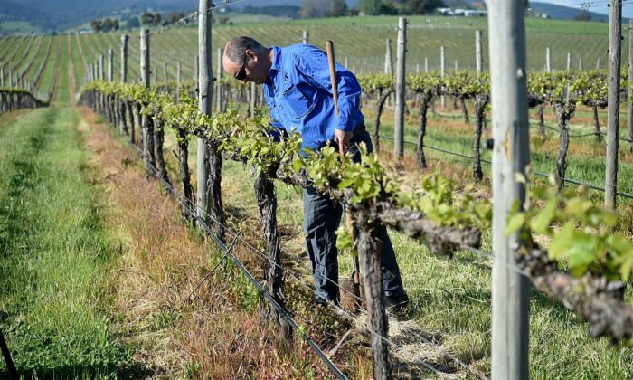 Winemaker Justin Jarrett checking his vines at his vineyard in Orange, Wester Australia on Oct. 29, 2016. 