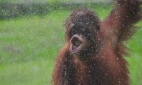 Photographer Captures Incredible Photos of Rescued Orangutan 'Dancing in the Rain'