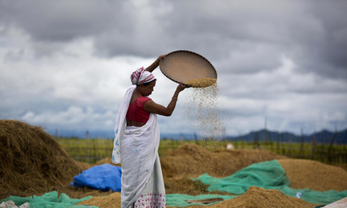 An Indian woman separates grain from the husk in a paddy field in Mayong village on the outskirts of Gauhati, India on June 13, 2018. (Anupam Nath/AP)