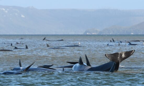 Mission Underway to Save 270 Dying Whales in Tasmania