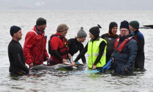Social Pilot Whales Prone to Beaching