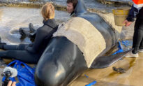 Mission Underway to Save 450 Dying Whales in Tasmania