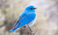 Beautiful Mountain Bluebirds Are the BLUEST of All Bluebirds–and They're on the Rise