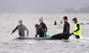 Nearly 500 Pilot Whales Stranded in Australia; 380 Dead