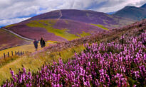 Spectacular Images Depict Beautiful Heather Blooms Across Picturesque Landscape in Scotland