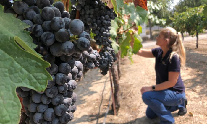 Anita Oberholster, enology specialist at the University of California, Davis, examines wine grapes in the university's research vineyard in Davis, Calif. (Haven Daley/AP Photo)