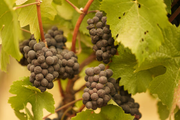 Grapes with ash on them