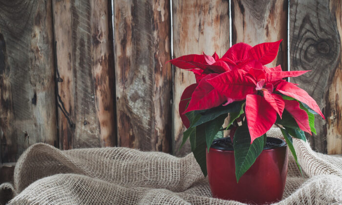Instead of moving your poinsettia to a closet to keep it in darkness, you can also simply put a box over it. (Katia Seniutina/Shutterstock)