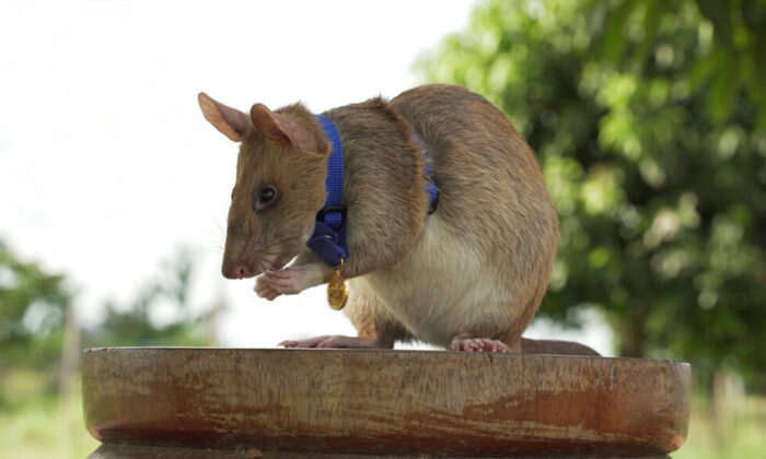 """Magawa, the Cambodian landmine detection rat, wearing his PDSA Gold Medal, the animal equivalent of the George Cross, in Siem, Cambodia. A British animal charity has on Friday, Sept. 25, 2020, for the first time awarded its top civilian honor to a rat, recognizing the rodent for his """"lifesaving bravery and devotion"""" in searching out unexploded landmines in Cambodia. (PDSA via AP)"""