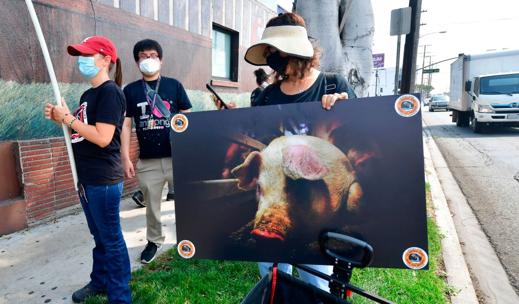 Animal Rights Activists Cited for Attempted Pig Rescue...