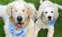 Blind Golden Retriever Gets His Own Tiny Guide Dog to Find His Way on Walks