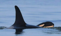 It's a Boy! Mother Orca Gives Birth to 'Robust,' 'Healthy' Killer Whale Baby Off Coast of BC