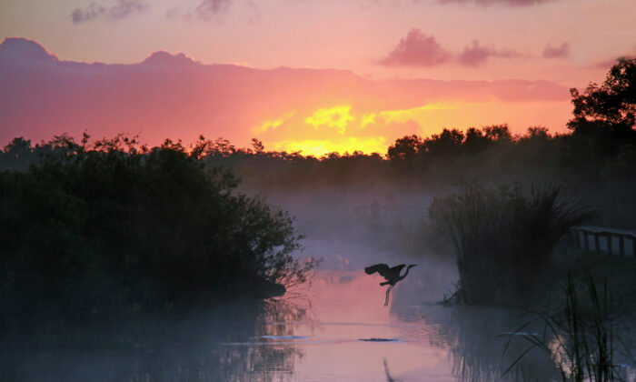 A heron takes flight at sunrise in Everglades National Park. (Brian Lasenby/Shutterstock)