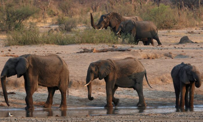A group of elephants are seen near a watering hole inside Hwange National Park, in Zimbabwe, on Oct. 23, 2019. (Philimon Bulawayo/Reuters)