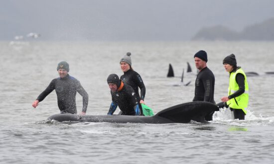 Samples From Stranded Whales Give Hope for Research on Beachings