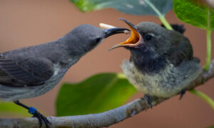 Rare Splendid Sunbird Pair Rears Chick at San Diego Zoo, Only Three of Their Kind in US