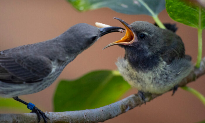 The splendid sunbird chick being fed by its mother at the San Diego Zoo's Conrad Prebys Africa Rocks Aviary, as pictured on Aug. 11, 2020. (Courtesy of Ken Bohn/San Diego Zoo Global)