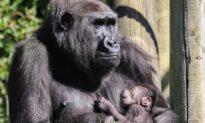 Gorilla Mom Seen Cradling Newborn After Losing Her First Baby Last Year: Photos