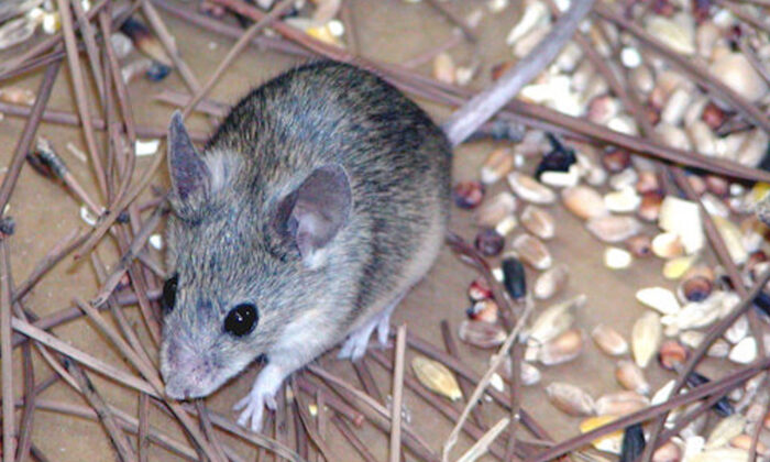 A Cypriot mouse (Mus Cypriacus) in a photo released by Durham University in Durham, England, on Oct. 12, 2006.