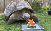 440lb Galapagos Tortoise Celebrates 54th Birthday With Watermelon Cake at Perth Zoo