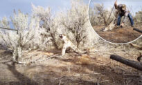 Enraged Mountain Lion Caught in Hunter's Trap Hisses as He Tries to Free Ferocious Feline