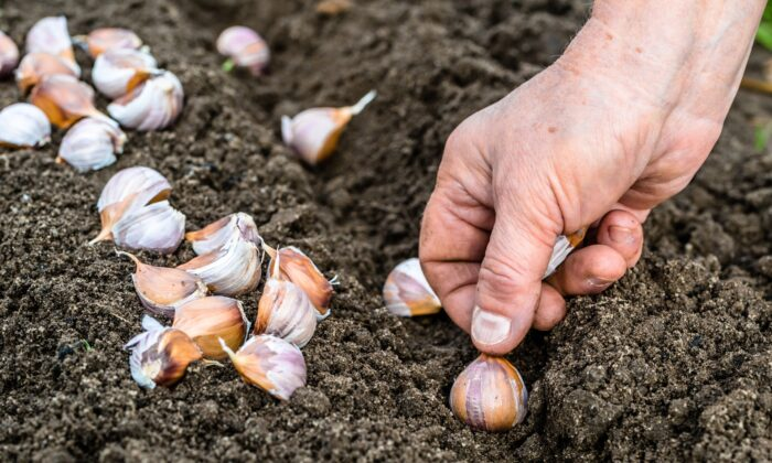 The ideal window for planting garlic is between Halloween and Thanksgiving. (Alicja Neumiler/Shutterstock)