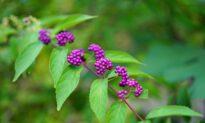 Bayberry Leaf Offers Hope Against Growing Antibiotic Resistance
