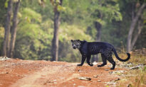 Photographer Captures Images of Extremely Rare Black Leopard After 2 Years of Waiting
