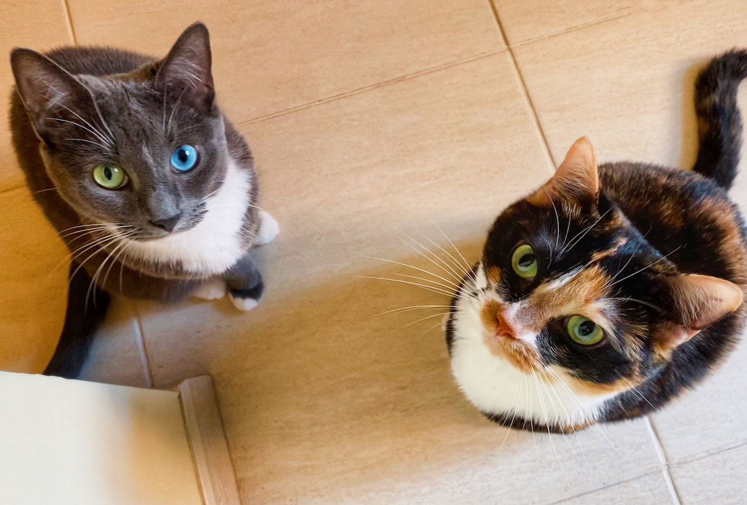 CATERS_CAT_WITH_ODD_EYES_-5_3395962.jpg?profile=RESIZE_930x