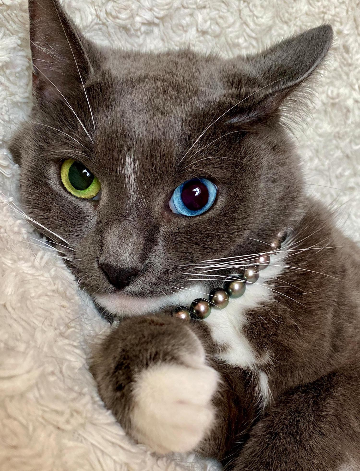 CATERS_CAT_WITH_ODD_EYES_-6_3395963.jpg?profile=RESIZE_930x